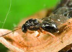 Convegno su vespa cinese e cidie a Pavullo il 19 ottobre